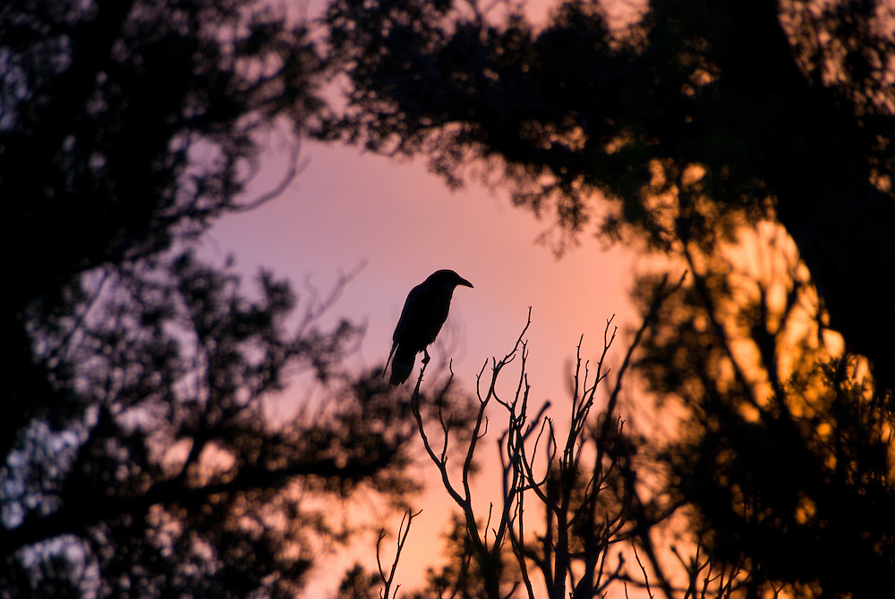 Raven sitting in a tree at sunset, Canyonlands National Park, Utah.