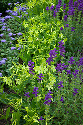 Nicotiana 'Lime Green' (Tobacco plant) with Salvia viridis 'Blue' and Ageratum houstonianum 'Blue Horizon'