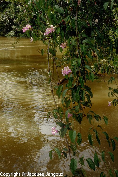 Cydista aequinoctialis (family: Bignoniaceae), a liana in tropical rainforest on banks of rio Maiguari, Amazon estuary, Pará State, Brazil.