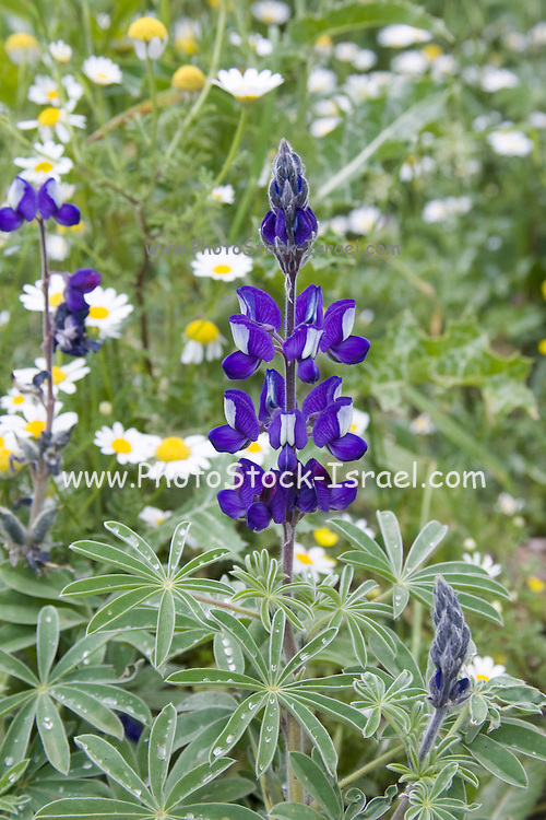 Blue Lupine (lupinus pilosus) spring flowering, north Israel