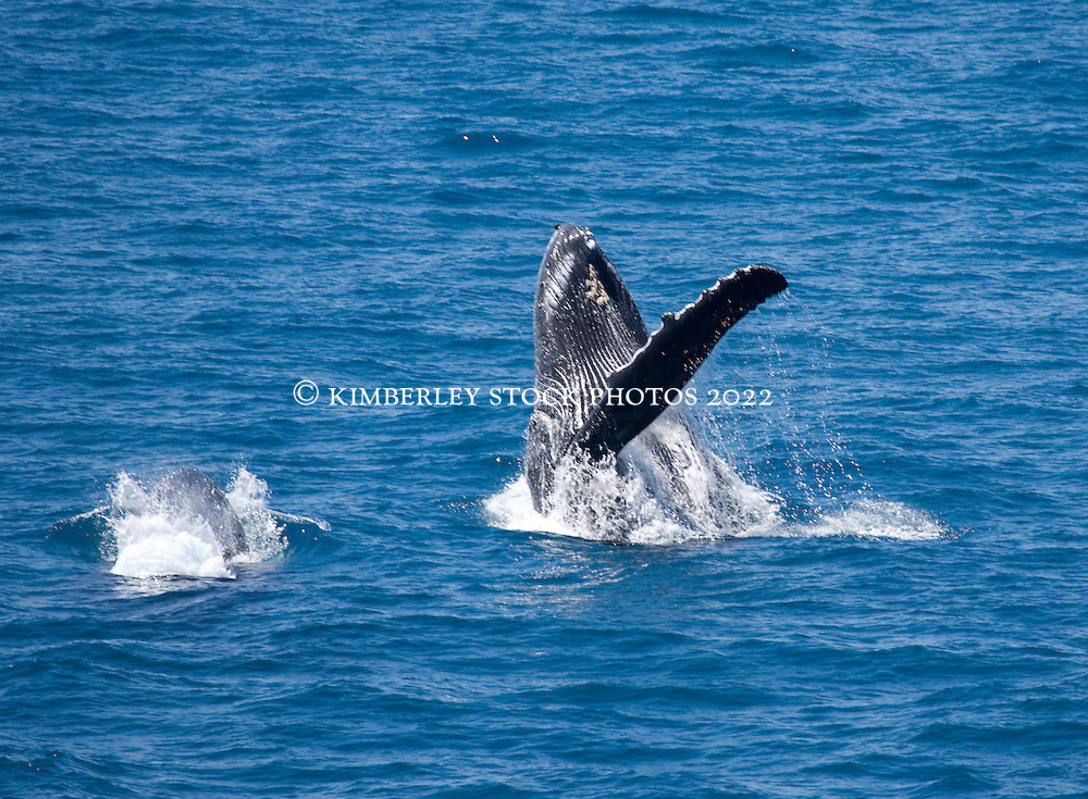 A humpback whale cow and calf breach off Broome's Cable Beach in Western Australia's Kimberley.
