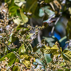 """""""Topetinho-vermelho (Lophornis magnificus) fotografado em Santa Teresa, Espírito Santo -  Sudeste do Brasil. Bioma Mata Atlântica. Registro feito em 2016.<br /> <br /> <br /> <br /> ENGLISH: Frilled Coquette photographed  in Santa Teresa, Espírito Santo - Southeast of Brazil. Atlantic Forest Biome. Picture made in 2016."""""""