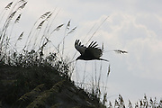 Turkey Vulture cruising the dunes on a Jekyll Island Beach.
