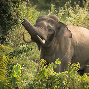 Asian Elephant (Elephas maximus) bull feeding in Kui Buri national park, Thailand