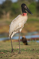 A jabiru, Jabiru mycteria, walking in the grass in the Pantanal region of Brazil.
