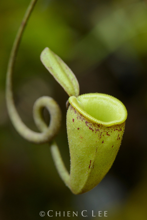 Unlike most Nepenthes species, upper pitchers of N. ampullaria such as the one shown here are only rarely produced. These diminutive traps are perhaps only vestigial formations and do not catch many insects.