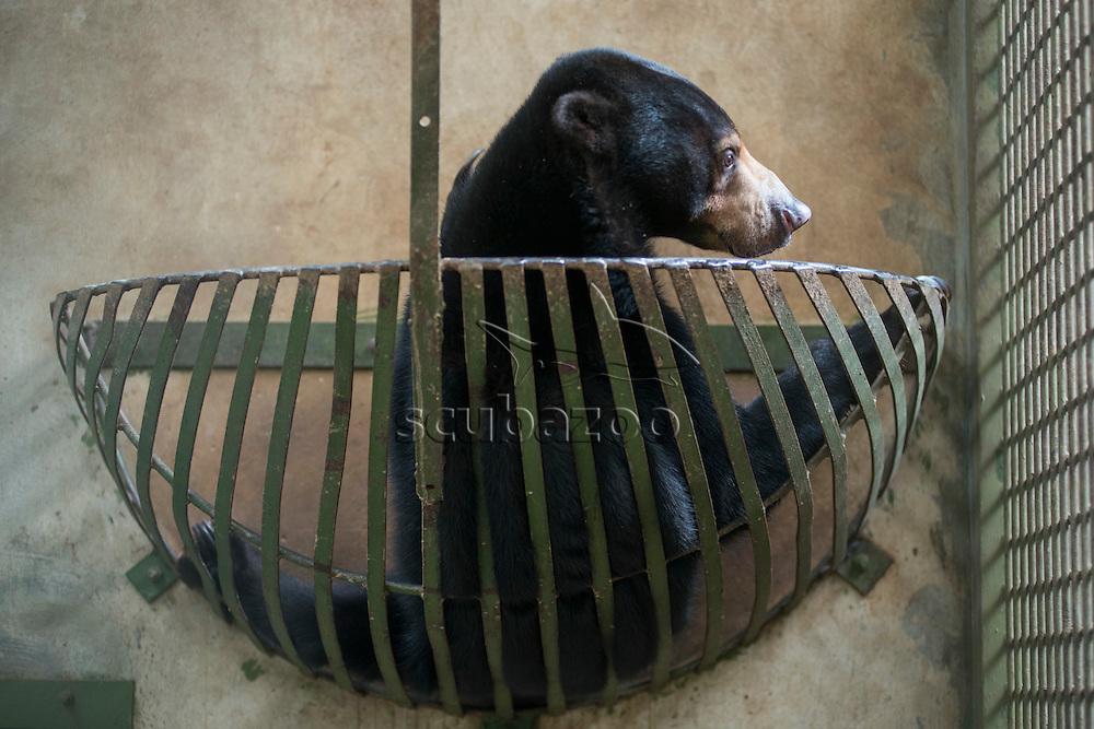 Bornean Sun Bear, Helarctos malayanus, rehabilitating in Sabah, Malaysia.