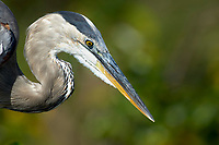 Great Blue Heron (Ardea herodias), Green Cay Nature Area, Delray Beach, Florida, USA