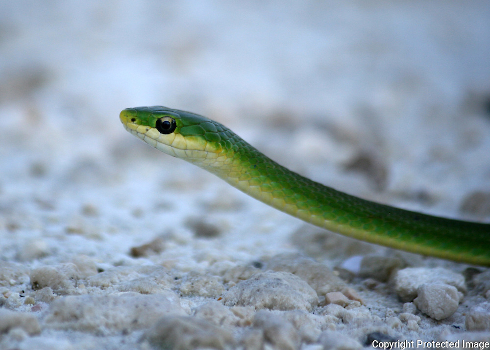 Head of a Rough Scaled Green Snake crossing a Jekyll Island road
