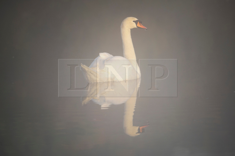 © London News Pictures. 06/10/2013. Richmond, London, UK.  A swan in mist reflected in a pond at  Richmond Park, West London on an early Autumn morning at sunrise. The UK is experiencing an unusually warm start to the Autumn with temperatures reaching 20 degrees in parts.  Photo credit: Ben Cawthra/LNP