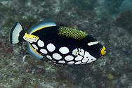 Clown triggerfish-Baliste clown (Balistoides conspicillum), indian ocean, South Africa.