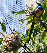 "The Golden-breasted Starling, Cosmopsarus regius also known as Royal Starling, ""the most beautiful starling in the world"", is a medium-sized, up to 35cm long, passerine in the starling family. The adult has a metallic green head and upperback, bright golden yellow breast and belly, dark bill and legs, white iris and metallic violet blue on wings, back, neck and its long tail feathers. Both sexes are similar. The young is duller than adult. The Golden-breasted Starling is distributed to the grassland, savanna and shrubland of northeast Africa, from Somalia, Ethiopia, Kenya and northern Tanzania. The Golden-breasted Starling is a social animal, living in groups of three to twelve individuals. Its diet consists mainly of insects and termites. The female usually lays between three to five pale green eggs with red speckles. The nest is made in tree holes, using leaves, roots and other vegetation. Widespread throughout its habitat range, the Golden-breasted Starling is evaluated as Least Concern on the IUCN Red List of Threatened Species. Photographed in the Woodland Park Zoo, Seattle, Washington, USA."