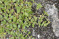 Four-leaved Allseed Polycarpon tetraphyllum is a much-branched annual with leaves in 2s and 4s. Flowers are tiny and whitish. Common only on the Isles of Scilly; rare near coast in SW England.
