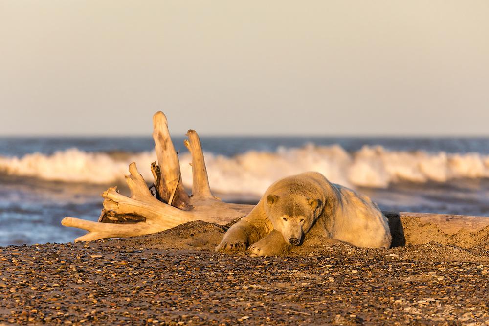 The setting sun illuminates a Polar Bear (Ursus maritimus) resting along the Beaufort Sea waiting for the ocean to freeze to forage for seals in Kaktovik, Alaska. Autumn.
