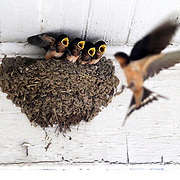 Young mud barn swallows open their mouths to receive food from their mother as she flies by the nest at Judith Learner's home in Toledo on Monday, July 10, 2017. THE BLADE/KURT STEISS