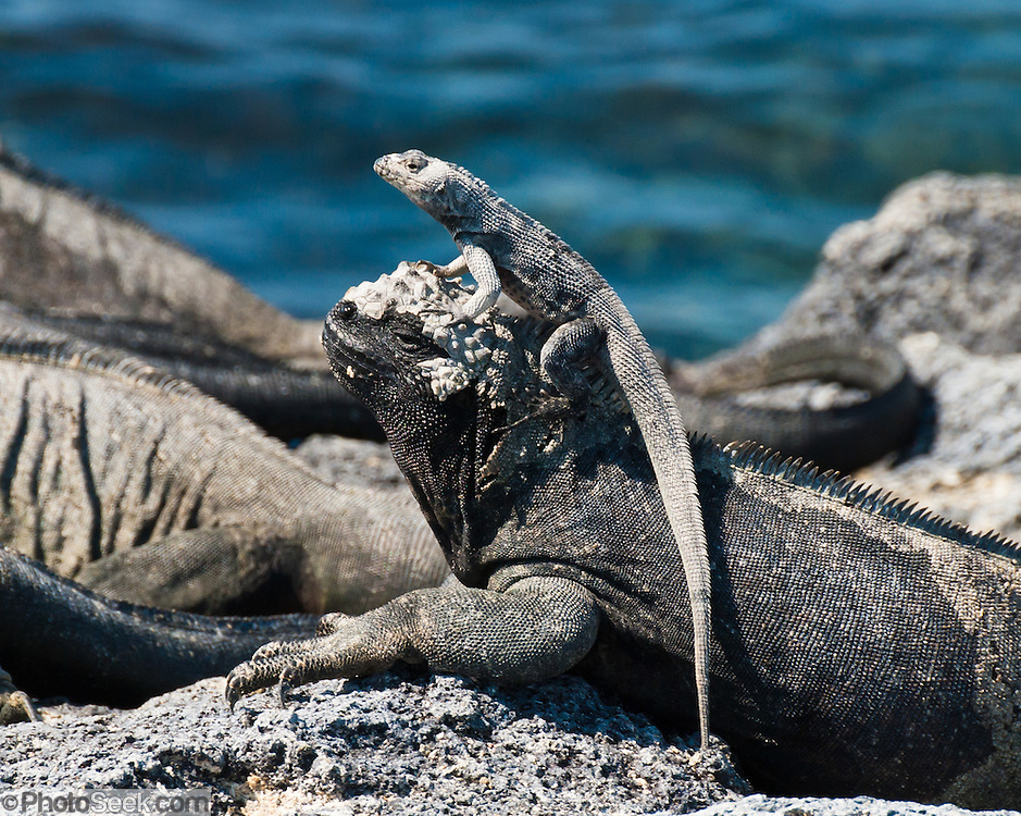 "A lava lizard mounts a Galapagos Marine Iguana (Amblyrhynchus cristatus) at Punta (Point) Espinoza, on Fernandina (Narborough) Island, Galápagos Islands, a province of Ecuador, South America. Marine Iguanas, the world's only sea-going lizard species, are found nowhere else on earth. Marine Iguanas feed almost exclusively on marine algae, expelling the excess salt from nasal glands while basking in the sun, coating their faces with white. Marine Iguanas live on the rocky shore or sometimes on mangrove beaches or marshes. Most adults are black, some grey, and the young have a lighter colored dorsal stripe. The somber tones allow the species to rapidly absorb the warm rays of the sun to minimize the period of lethargy after emerging from the frigid water, which is cooled by the Humboldt Current. Breeding-season adult males on the southern islands are the most colorful and will acquire reddish and teal-green colors, while Santa Cruz males are brick red and black, and Fernandina males are brick red and dull greenish. The iguanas living on the islands of Fernandina and Isabela (named for the famous rulers of Spain) are the largest found anywhere in the Galápagos. The smallest iguanas are found on Genovesa Island. Fernandina Island was named in honor of King Ferdinand II of Aragon, who sponsored the voyage of Columbus. Published in ""Light Travel: Photography on the Go"" book by Tom Dempsey 2009, 2010."