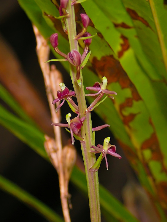 Close-up of the unusual tall twayblade - photographed here in knee deep water in a wet dark part of the Fakahatchee Strand.  Since it was growing on a cypress knee, it was very easy to photograph at waist level.