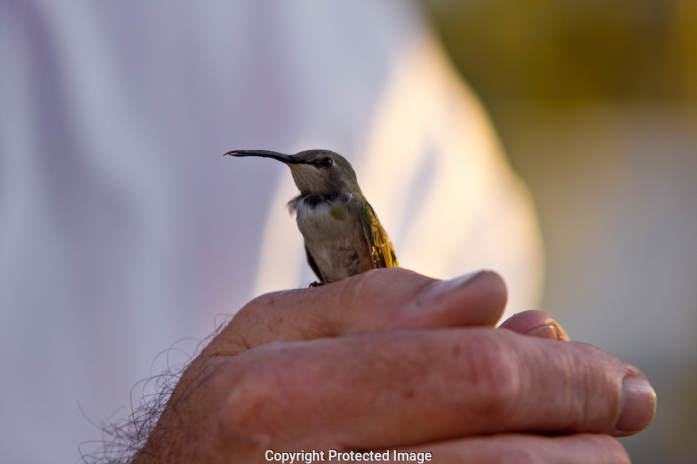 Hummingbird regaining it wits after hitting a wall and falling about five feet to the ground.