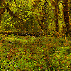 Panorama of Bigleaf Maple trees covered with moss in the Hall of Mosses at the Hoh Rain Forest. Olympic National Park, WA.