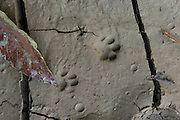 Ocelot (Leopardus pardalis) Footprints<br /> Yasuni National Park, Amazon Rainforest<br /> ECUADOR. South America<br /> HABITAT & RANGE: Variety of habitats in Central and South America and into the SW USA.