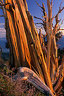 Bristlecone Pine at sunset, Ancient Bristlecone Pine Forest White Mountains, CALIFORNIA