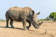 White Rhino bull, Mkhaya Game Reserve, Swaziland