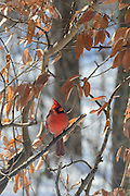 Photo of the Northern Cardinal in Ohio.