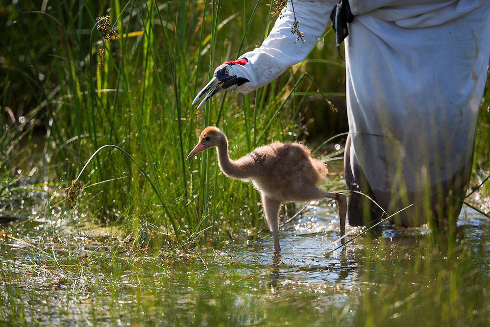 An endangered Whooping Crane chick takes a marsh walk with a costumed aviculturist learning to forge for food.