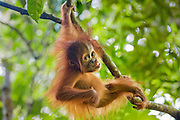 Sumatran Orangutan<br /> Pongo abelii<br /> 9 month old baby playing in tree<br /> North Sumatra, Indonesia<br /> *Critically Endangered