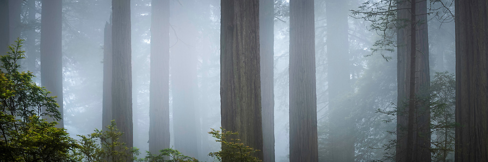 Towering redwood trees stand guard against the forest as they are surrounded by the early mornin fog in Del Norte Coast Redwood State Park in Northern California.