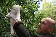 09: GUADALEST EL ARCA WHITE TIGER CUB