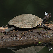 Oldham's leaf turtle (Cyclemys oldhamii ) is a species of turtle in the family Geoemydidae. Seen here in Kaeng Krachan National Park.