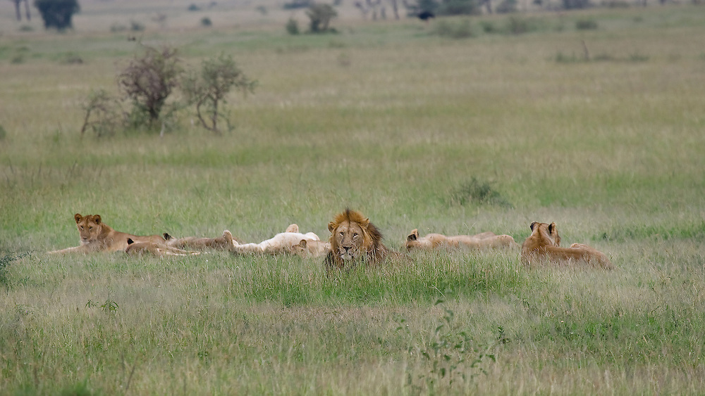 (Panthera leo) A pride of lions, including the alpha male, several females and young adult cubs enjoy a post-meal nap. Serengeti National Park, Tanzania