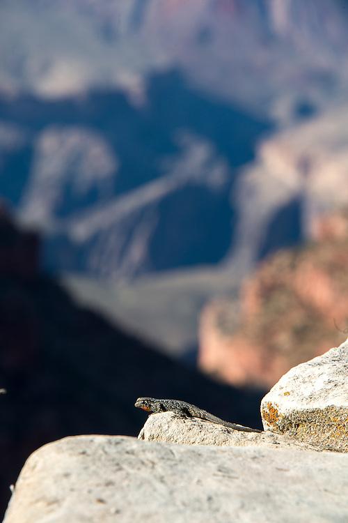 Lizard at Grand Canyon