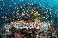 Baitfish and Anthias swarm above pristine hard corals<br /> <br /> Shot in Indonesia