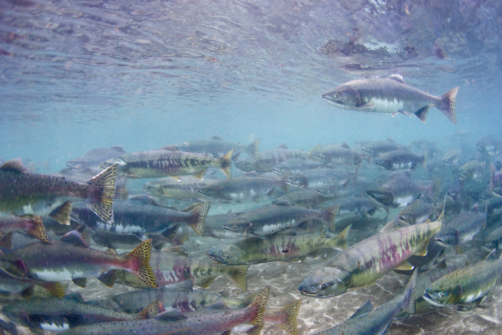 USA, Alaska, Katmai National Park, Kinak Bay, Underwater view of Spawning Pink Salmon (Oncorhynchus gorbuscha) and Chum Salmon (Oncorhynchus keta) in shallow river on autumn afternoon
