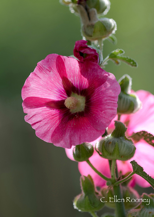A close-up of a pink holyhock (Alcea) in artist Katherine Bowling's garden in Potter Hollow, New York State, U.S.A.