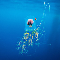 Chile, Diego Ramirez Island, Underwater view of jellyfish swimming in plankton-filled waters in Drake Passage