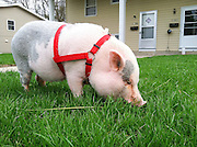 Iowa lawn mower. A pig munches the front lawn of a house in Ames, Iowa.
