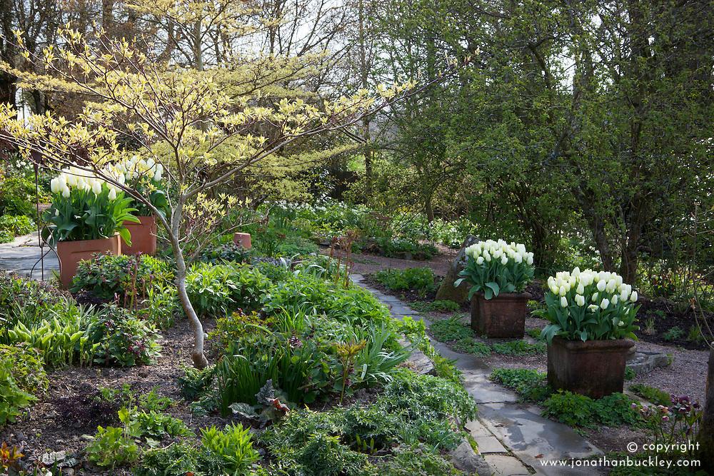 Alice's gardens with Tulipa 'Purissima' in square terracotta pots and Cornus controversa 'Variegata'