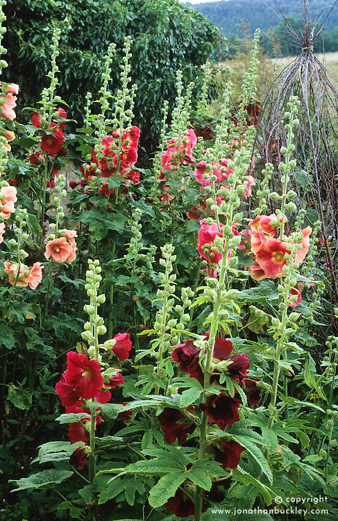 Alcea rosea - hollyhocks