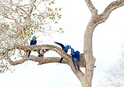 Hyacinth macaws (Anodorhynchus hyacinthinus) fighting over nesting site. Pantanal, Brazil.