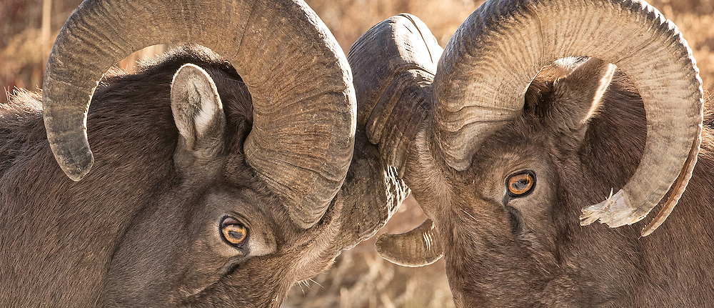 Sporting horns which weigh up to thirty pounds, these adult bighorn rams size each other up before going into battle.