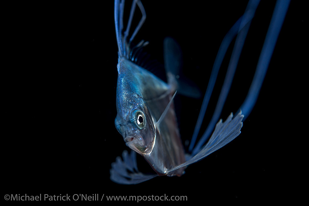 An young African Pompano, Alectis ciliaris, about the size of a quarter, drifts in the Gulf Stream current far offshore Palm Beach, Florida, United States late at night.