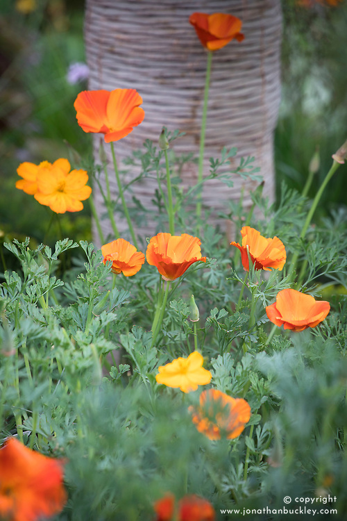 Eschscholzia californica, Californian poppies<br /> Beneath a Mexican Sky Garden<br /> RHS Chelsea Flower Show 2017<br /> Design: Manoj Malde<br /> Built by: Living Landscapes<br /> Sponsored by: Inland Homes PLC<br /> Photography &copy; Copyright Jonathan Buckley