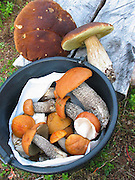 Cep (Boletus edulis) and Leccinum versipelle, Orange Birch Bolete is abundant many places in Norway in the autumn. Prized as an ingredient in various foods, cep or porcino is an edible mushroom held in high regard in many cuisines. Often eaten in soups, pasta, or risotto. . The pictures in this album must not be used to determind what mushrooms are edible.