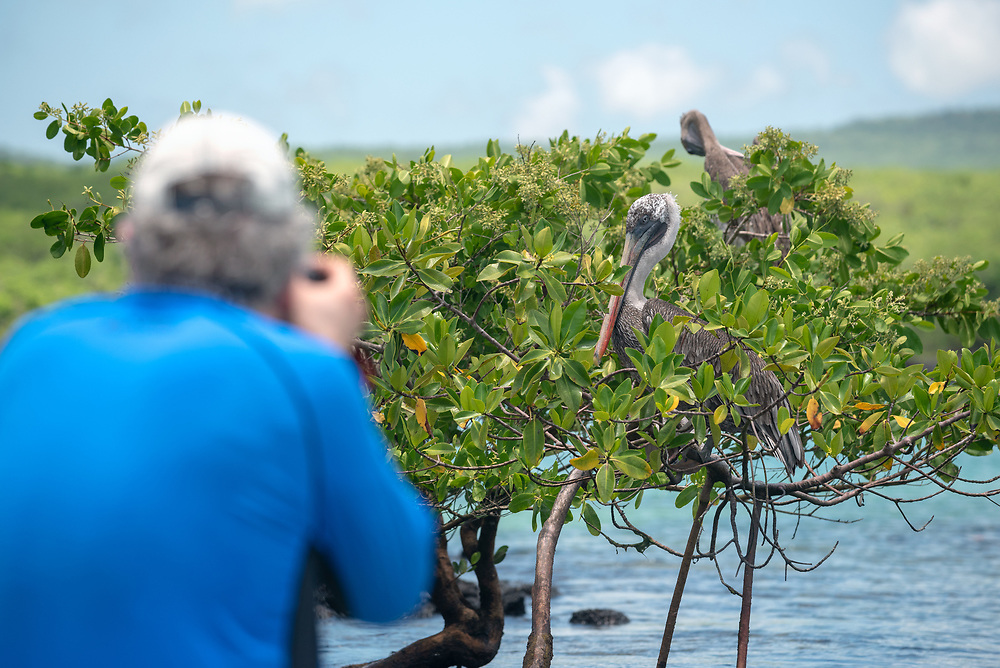 Photographing Brown pelicans perched on a mangrove tree in the Galapagos Islands, Ecuador.