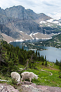 Two mountain goat grazing above Hidden Lake in Glacier National Park