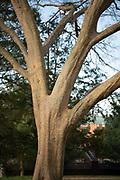 Lacebark Elm, Tree Tour, Mapp Athens