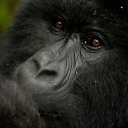 Mountain Gorilla (Gorilla beringei beringei) <br /> Virunga Volcanoes - Parc National des Volcans, Rwanda <br /> <br /> Bunyenyeri, a member of the Umubano group in Parc National des Volcans, Rwanda, finishes a morning feed. In 1902, Captain Oscar von Beringe shot two gorillas, and sent one to Paul Matschie at the Humboldt University Zoological Museum in Berlin, who would later describe it as a new subspecies of gorilla, which he called Gorilla gorilla beringei (later renamed Gorilla beringei beringei).